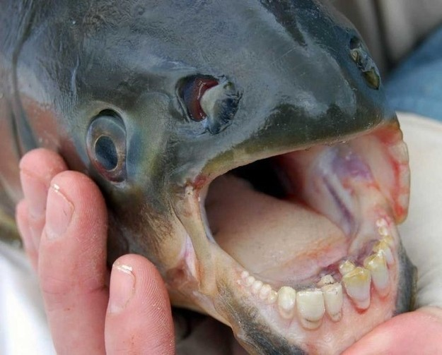 This Breed Of Fish That Actually Has Human Teeth
