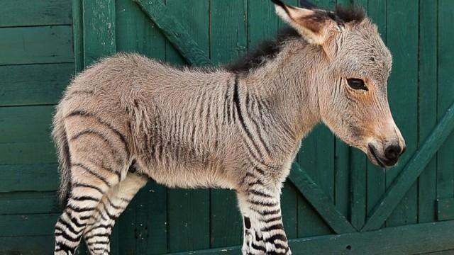 SPL_zebra_donkey_mthg_130725__16x9_992