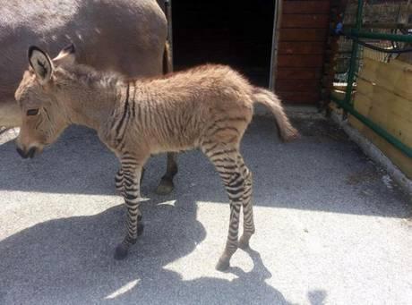 A Firenze nato raro incrocio fra zebra e asino