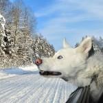 Dogs in Cars Malamute 150x150