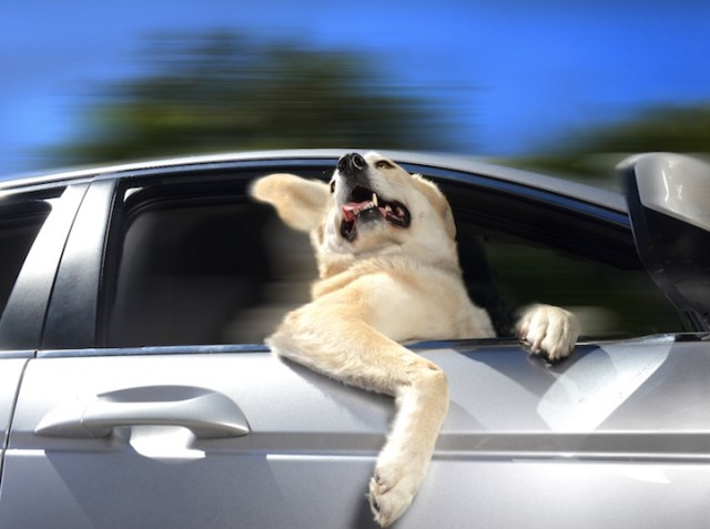 Dogs in Cars Yellow Dog 640x477
