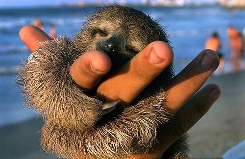 mini-bradipo-cucciolo