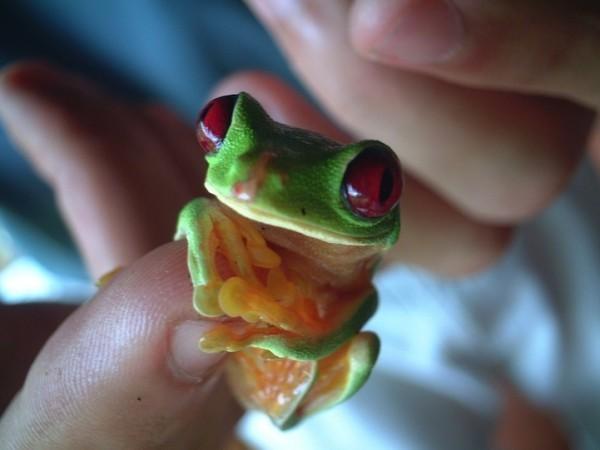 rana-verde-mano