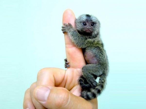scimmia-dito