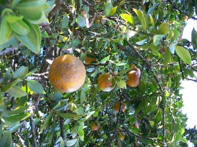 800px Citrus aurantium chinotto2