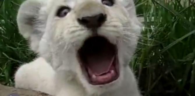 animali cuccioli sbadigliano test video