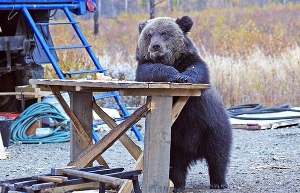 funny bears doing human things 30