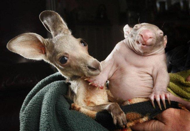 wombat and kangaroo 2 650x449