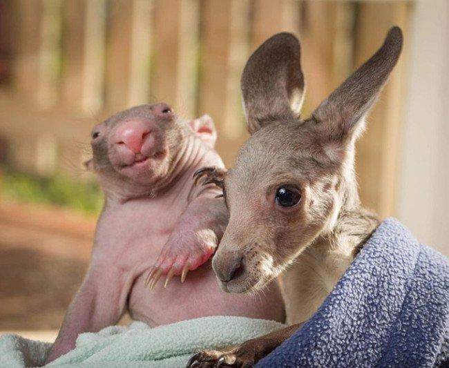 wombat and kangaroo 3 650x533