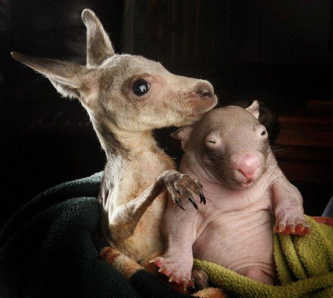 wombat and kangaroo 4 650x582