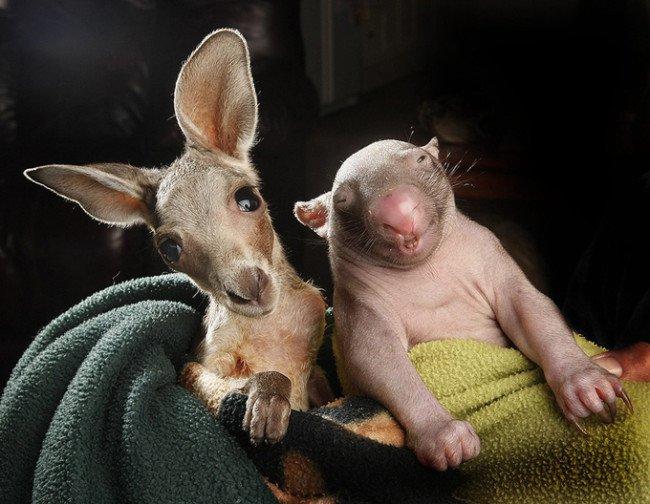 wombat and kangaroo 5 650x504