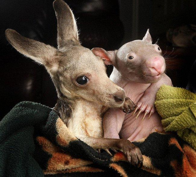 wombat and kangaroo 7 650x587
