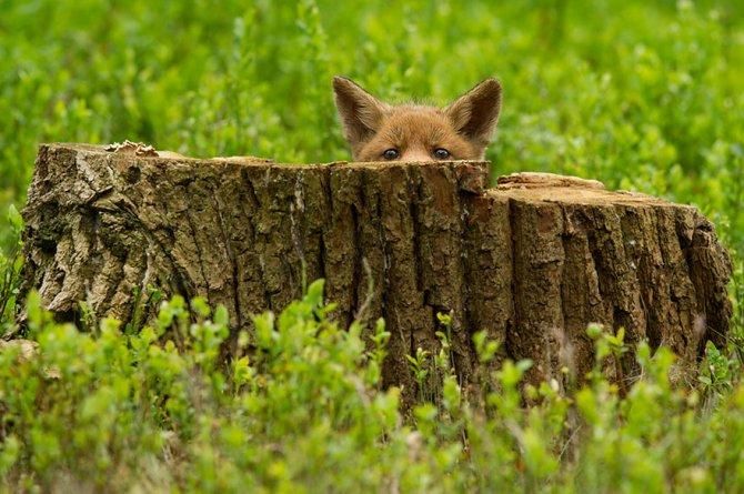 amazing fox photos 2