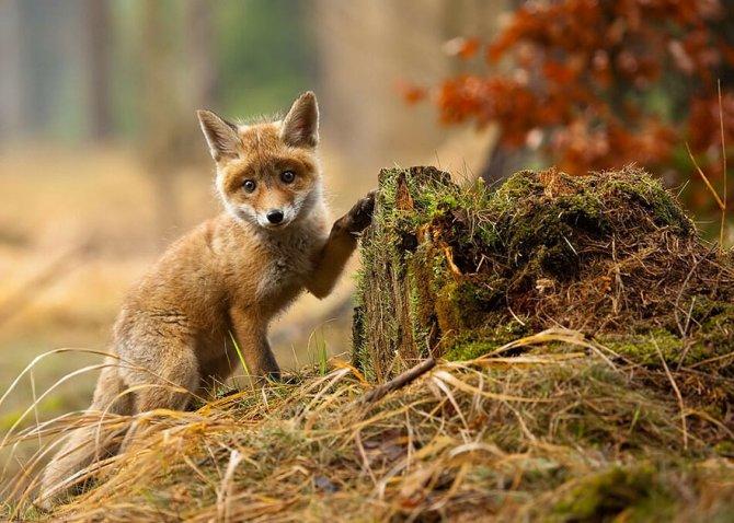 amazing fox photos 25
