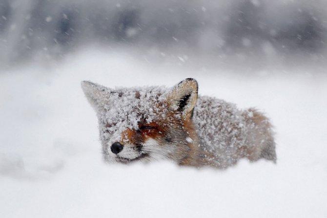 amazing fox photos 7