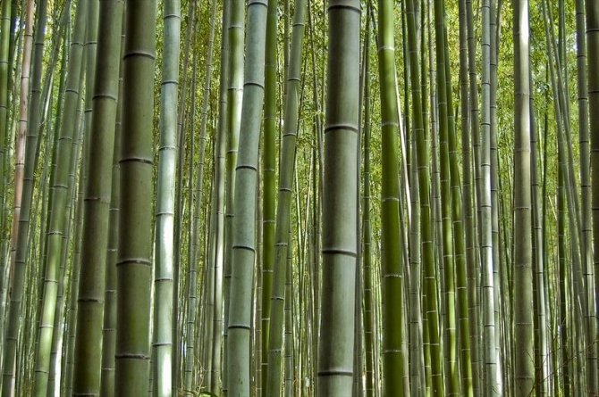 sagano-bamboo-forest-1-resize2[2]