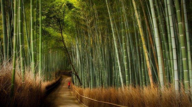 sagano-bamboo-forest-3-resize2[2]