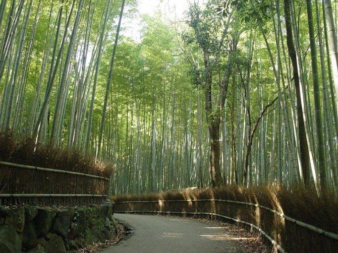 sagano-bamboo-forest-6-resize2[2]