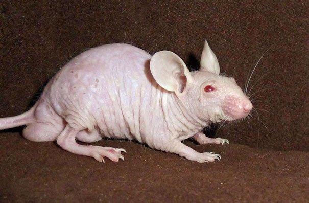 hairless bald animals 14