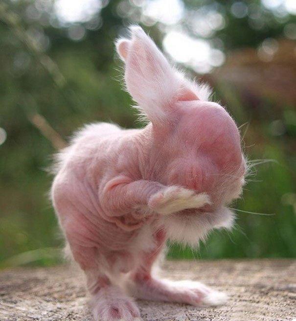 hairless bald animals 2