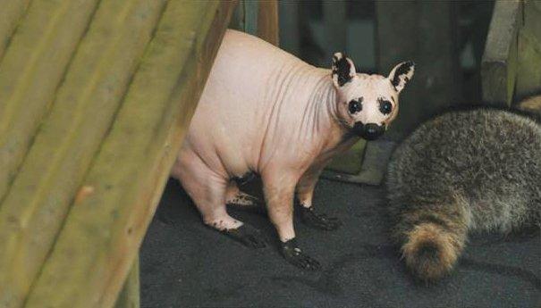hairless bald animals 29