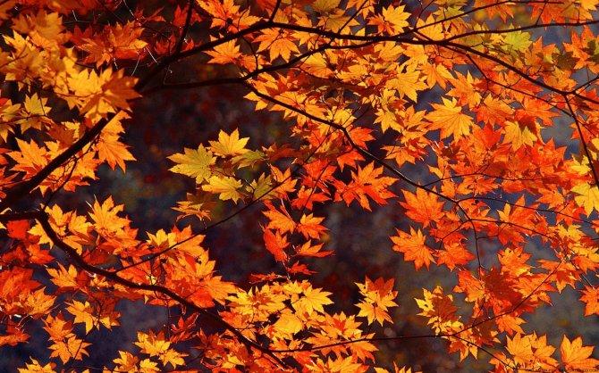 8814886-japan-autumn-leaves