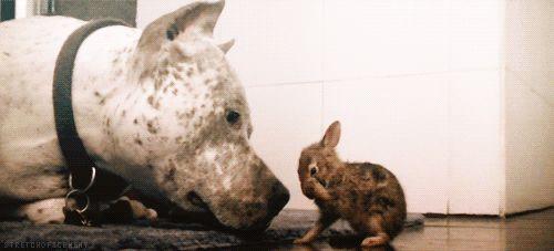 pitbull-rabbit