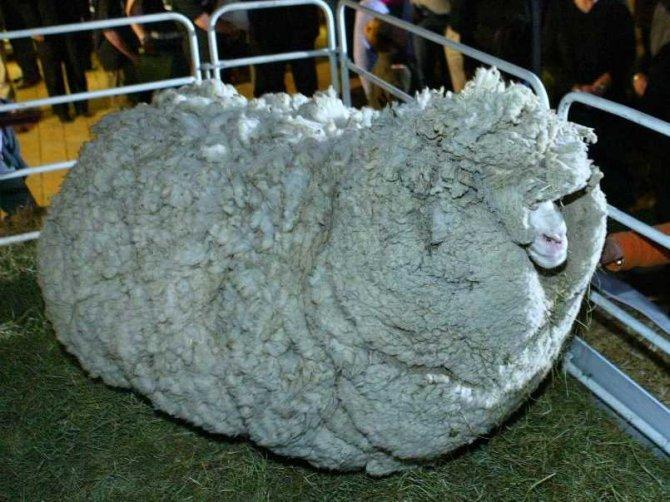 shrek-sheep