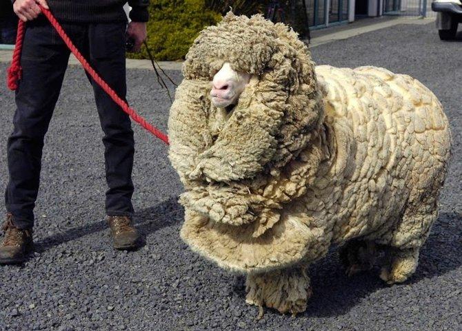 shrek-the-sheep-16