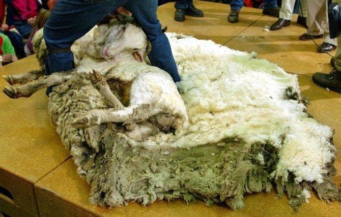 shrek-the-sheep-42