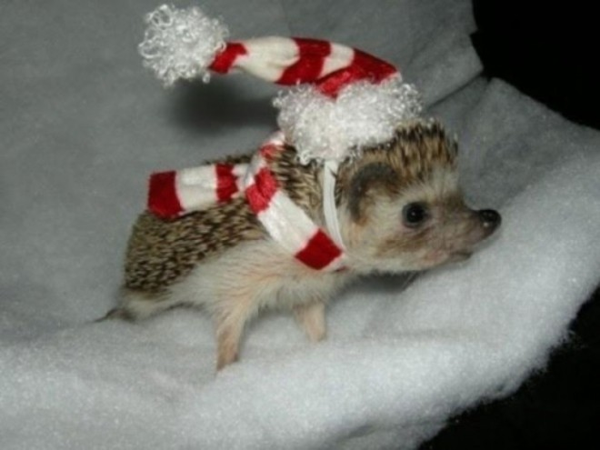 cute-hedgehog-christmas-costume-prick-1