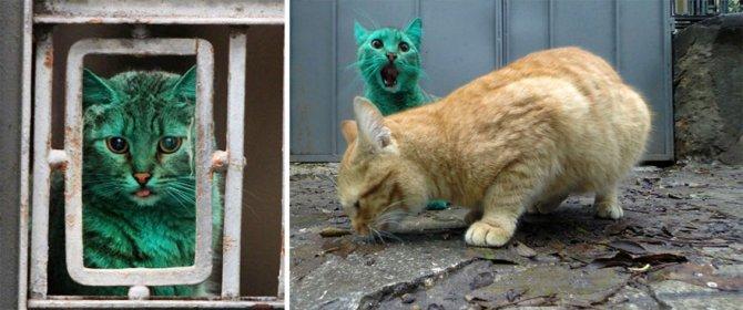 gatto verde bulgaria 6