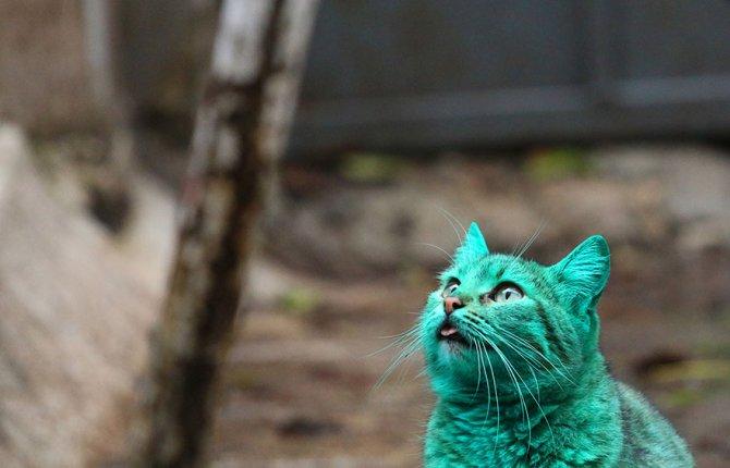 gatto verde bulgaria 7