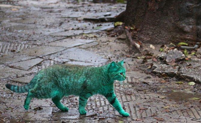 gatto verde bulgaria 4