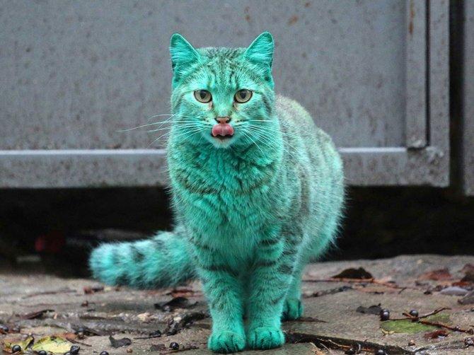gatto verde bulgaria 1