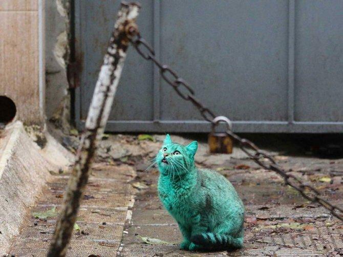gatto verde bulgaria 5