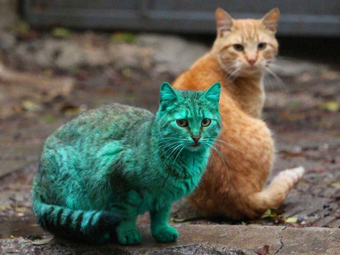 gatto verde bulgaria 2