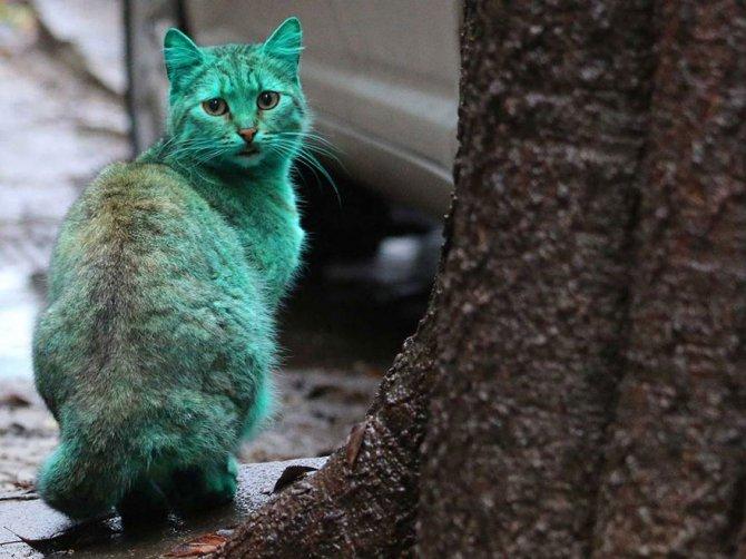 gatto verde bulgaria 8