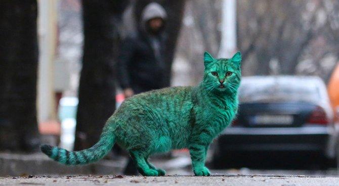 gatto verde bulgaria 9