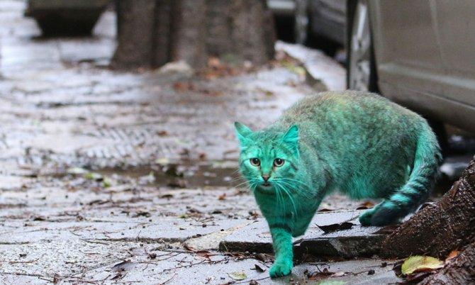 gatto verde bulgaria 3
