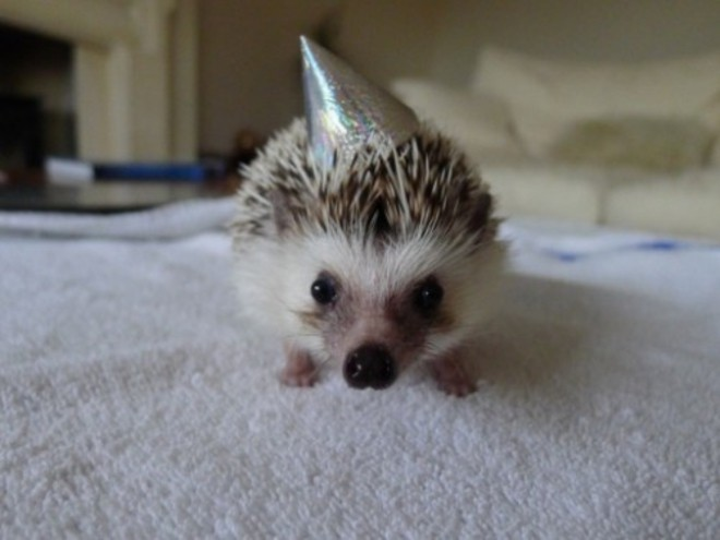 l-Party-hat-hedgehog-500x375c
