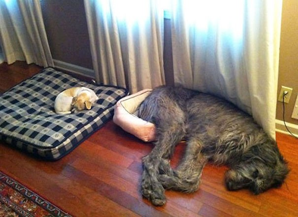 Huge-Dogs-Who-Think-They-Are-Small-3__605