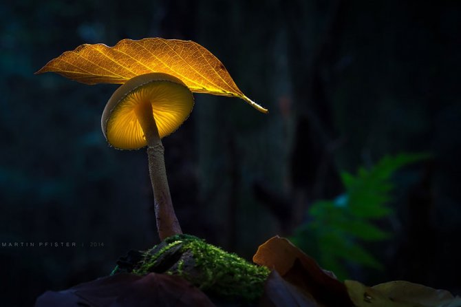mushrooms martin pfister 10
