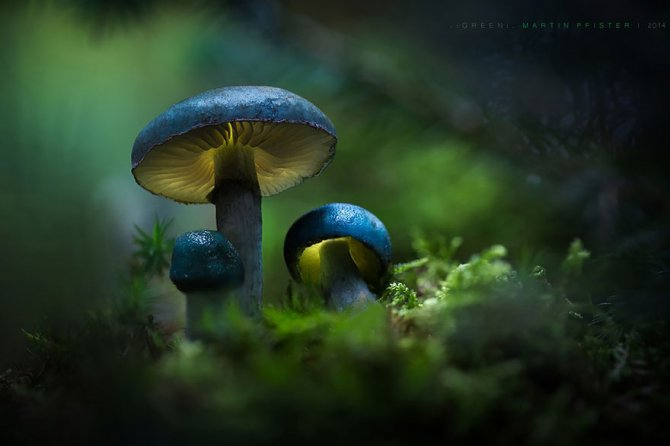 mushrooms martin pfister 11