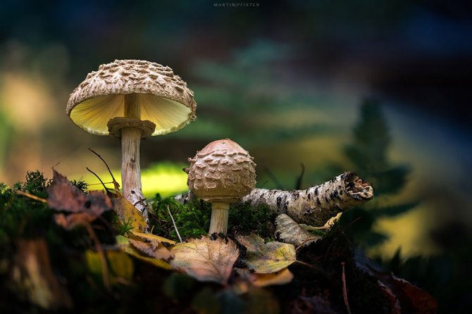 mushrooms martin pfister 9