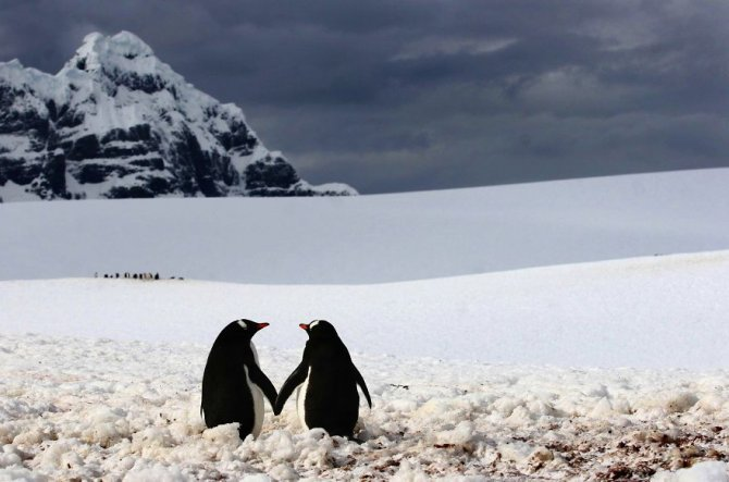 animal couples in love penguins 880