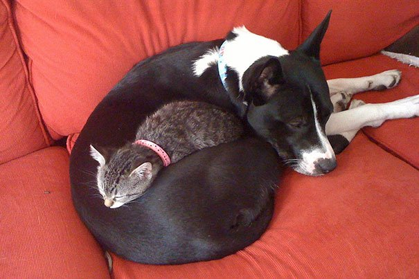 cute cats sleeping on dogs 11 605