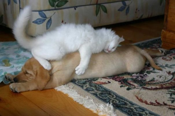 cute cats sleeping on dogs 1 605
