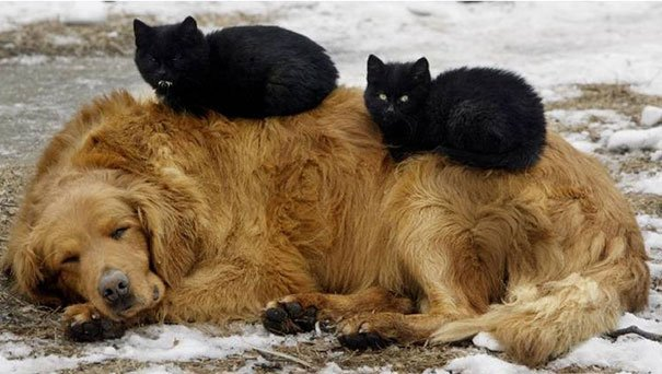 cute cats sleeping on dogs 20 605