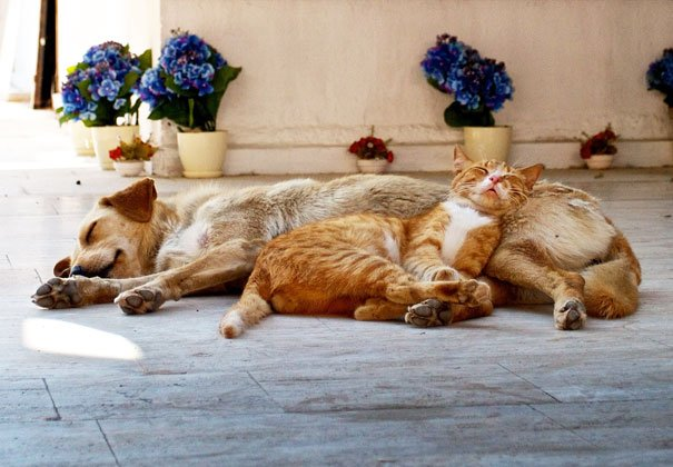 cute cats sleeping on dogs 21 605